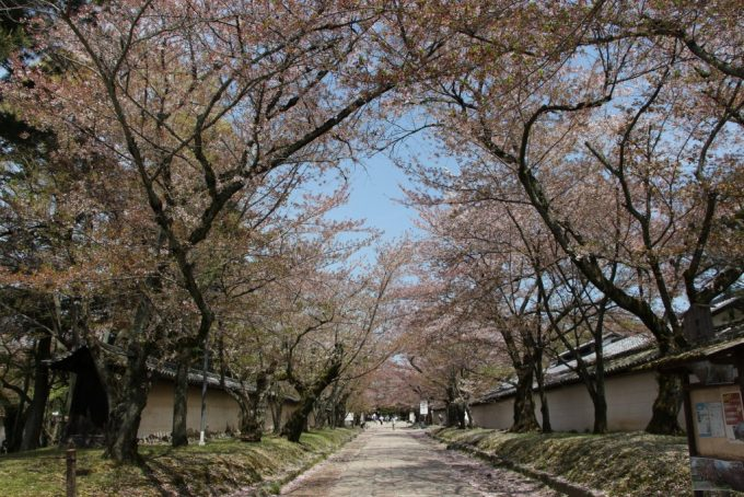 豊臣秀吉が催した伝説の花見、世界遺産「醍醐寺」へ。京都へお花見。