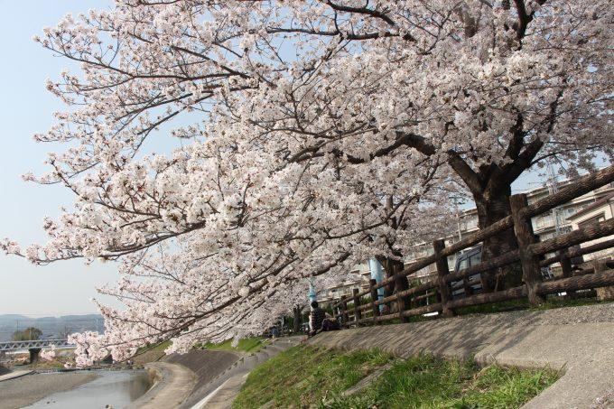 子連れで高槻市「芥川桜堤公園」へお花見&水遊びして来ました。